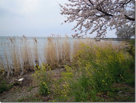 菜の花と桜とすすき
